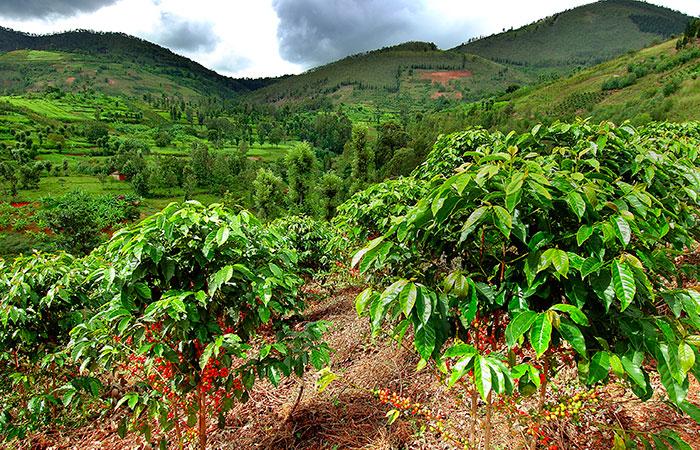 huye-mountain-coffee-plantation.jpg